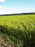 cash crop newsletter