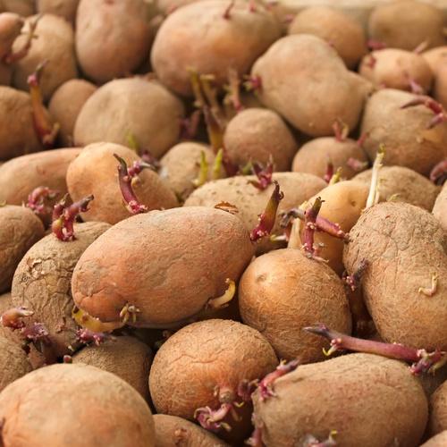 seed potatoes