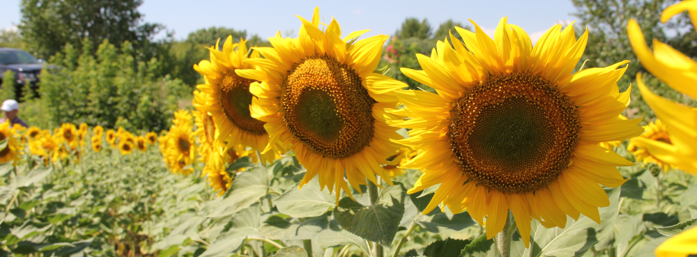 Sunflowers in Russia